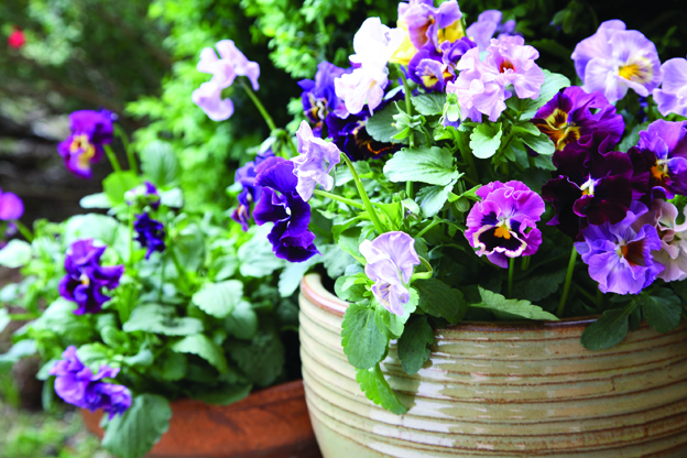 pansy purple in pot